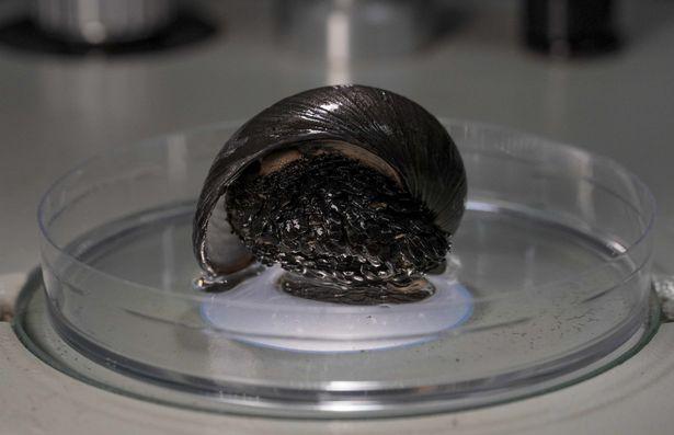 Iron-Clad Snail