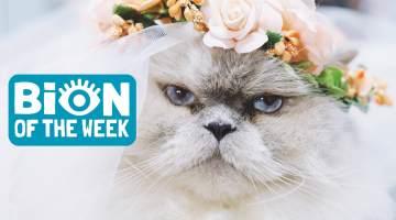 cat bride