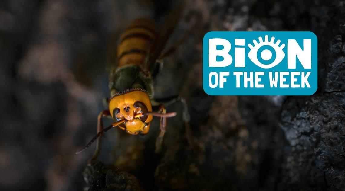 murder hornet bion of the week