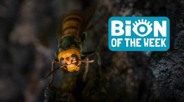 murder hornet bion of the week