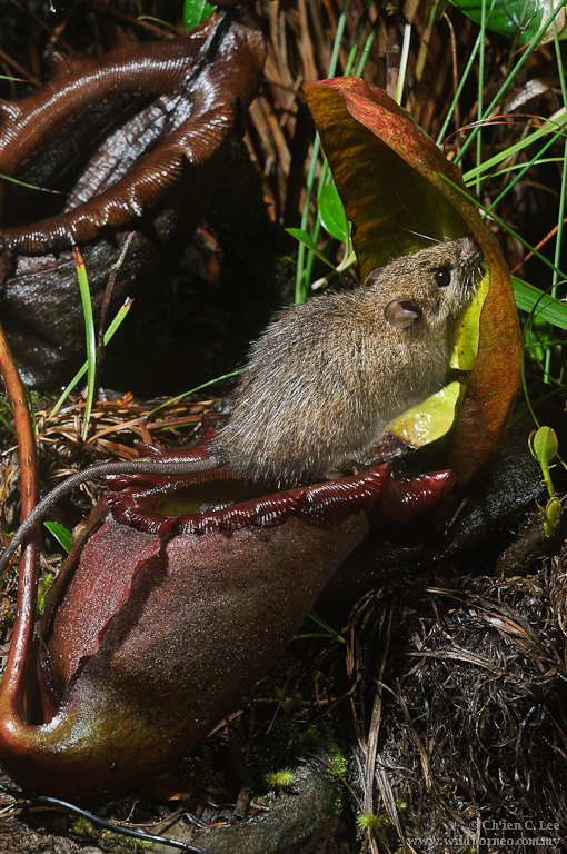 pitcher plant and shrew