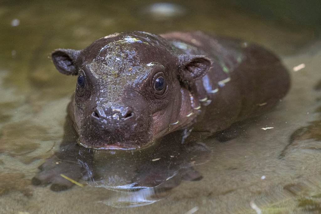 Endangered Pygmy Hippo Born at San Diego Zoo
