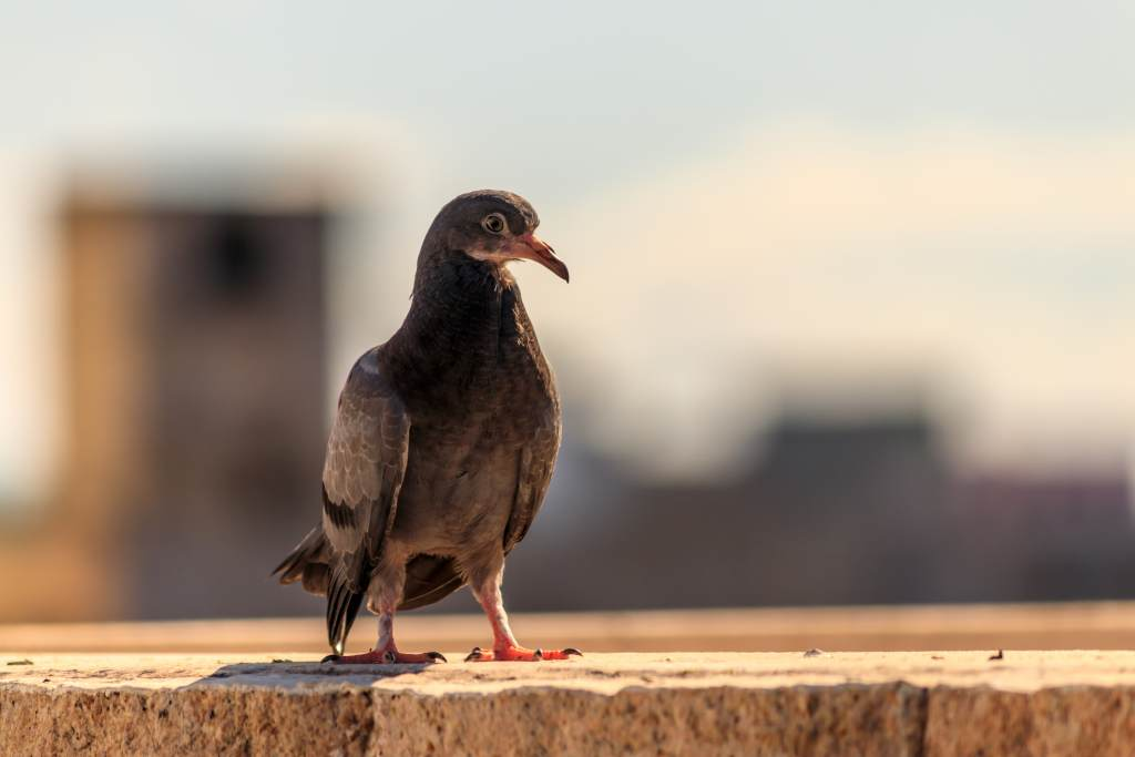 A pigeon is currently being held in India on charges of spying.