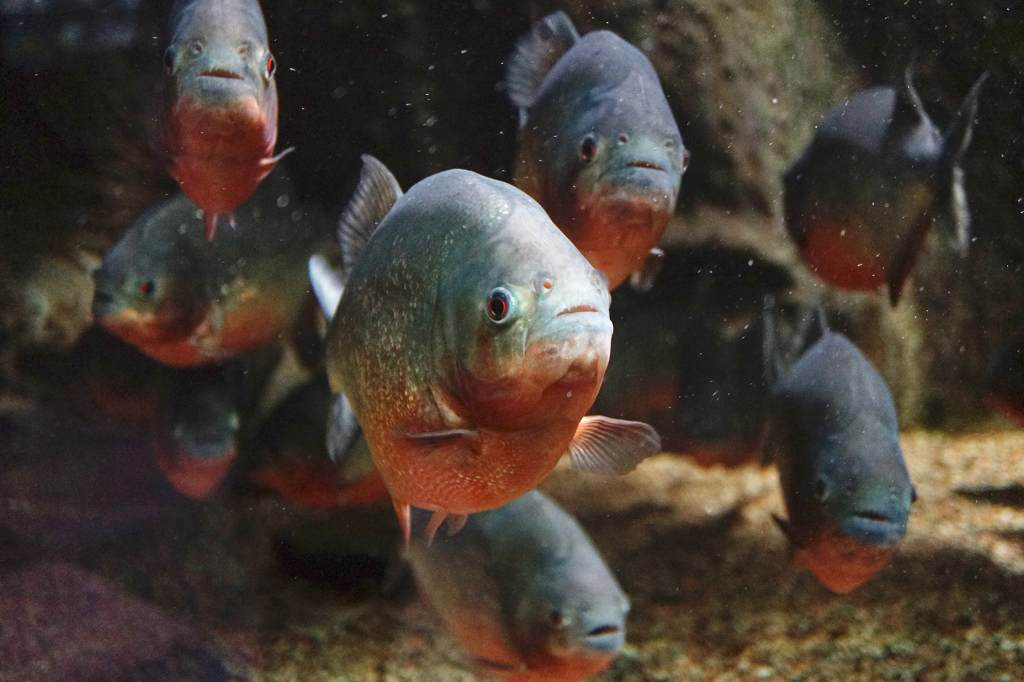 Group of Red Bellied Piranhas