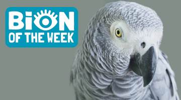 bion of the week grey parrot