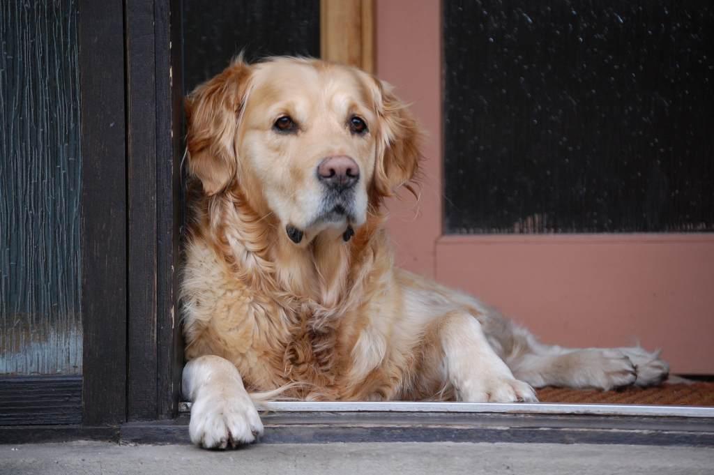 Golden retriver on doorstep