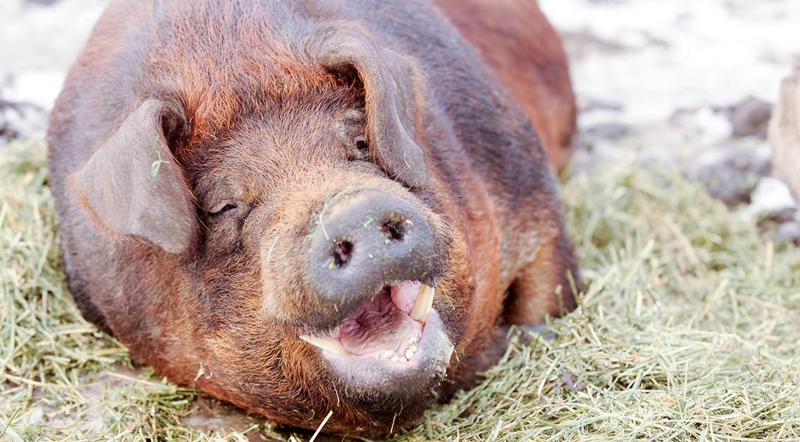 Hungry Hog