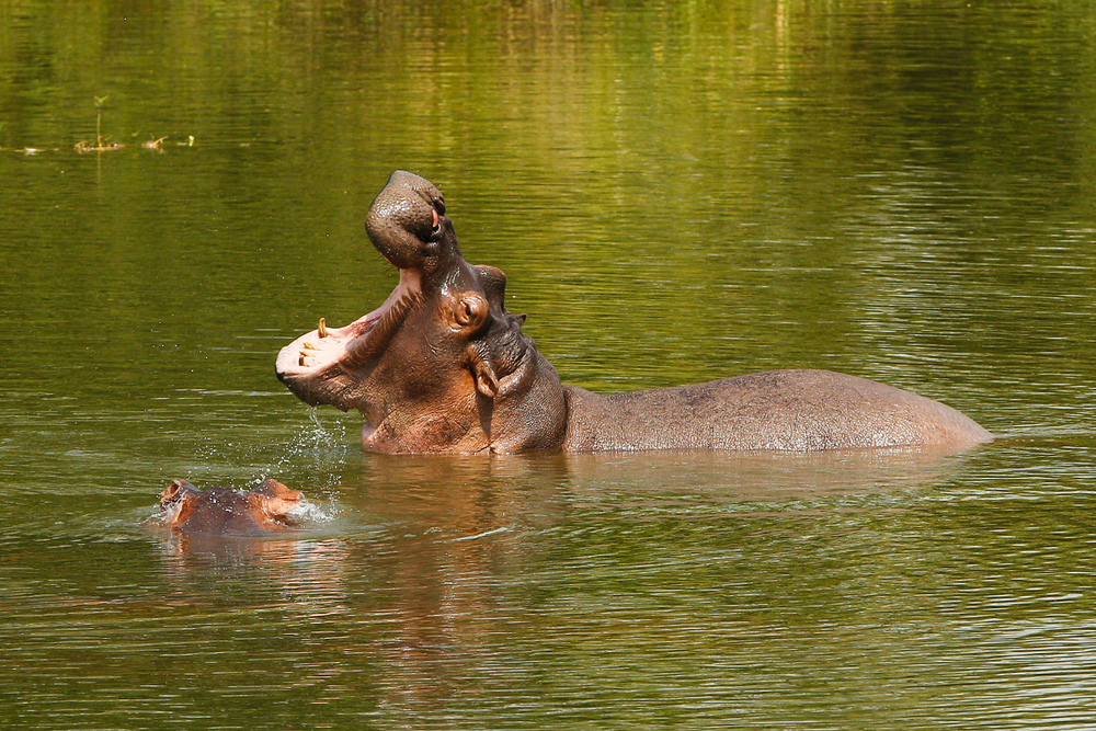 bloat of hippos in Colombia