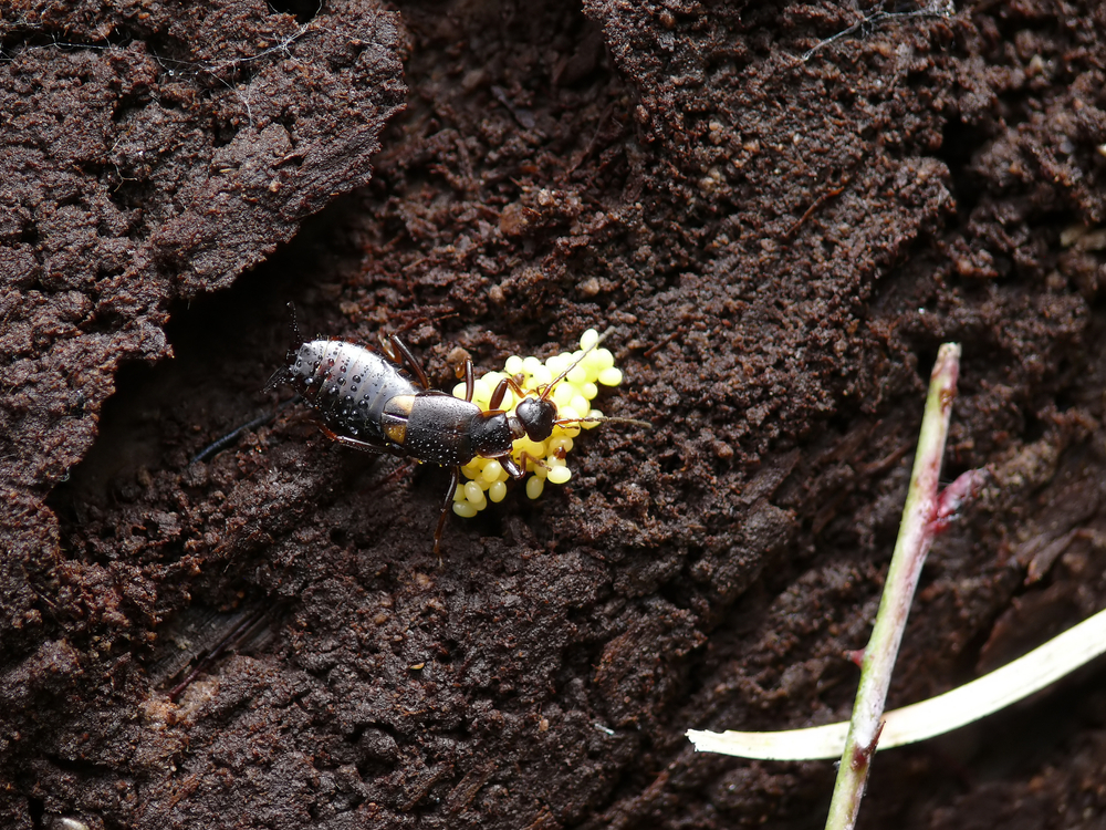 Mother Earwig with eggs