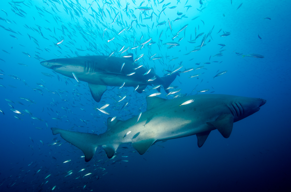 two sharks swimming