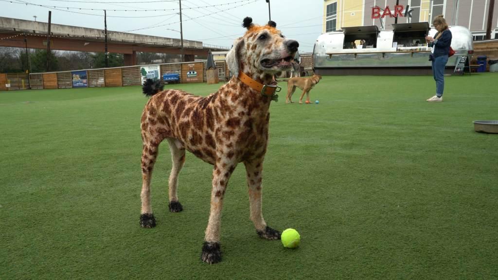 Creative Dog Grooming Giraffe Dog
