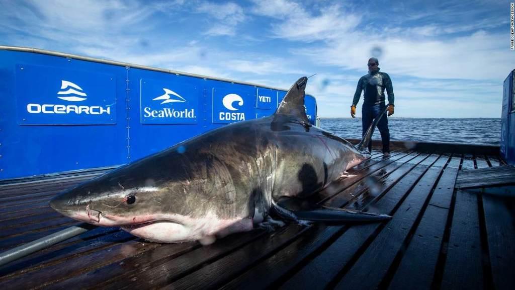 2,000-pound great white shark