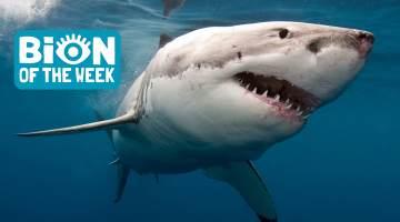 2000 Pound Shark