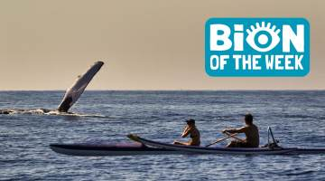 Whale and Kayakers BION of the Week