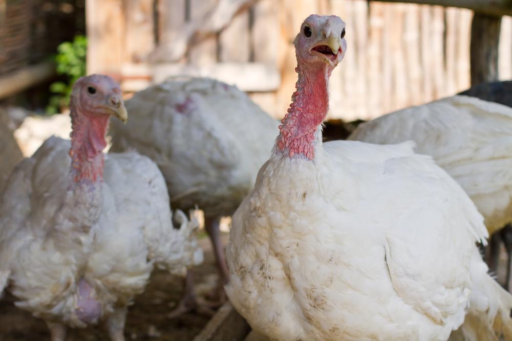 two white turkeys