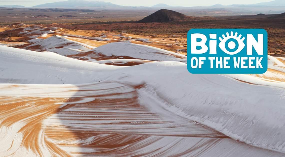 Sahara Snow Fall BION of the Week