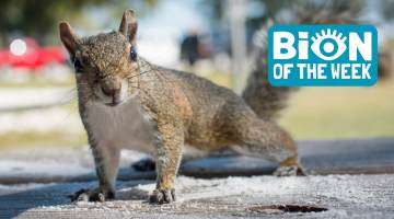 Squirrel BION of the Week