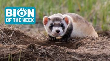 Black Footed Ferret BION of the Week
