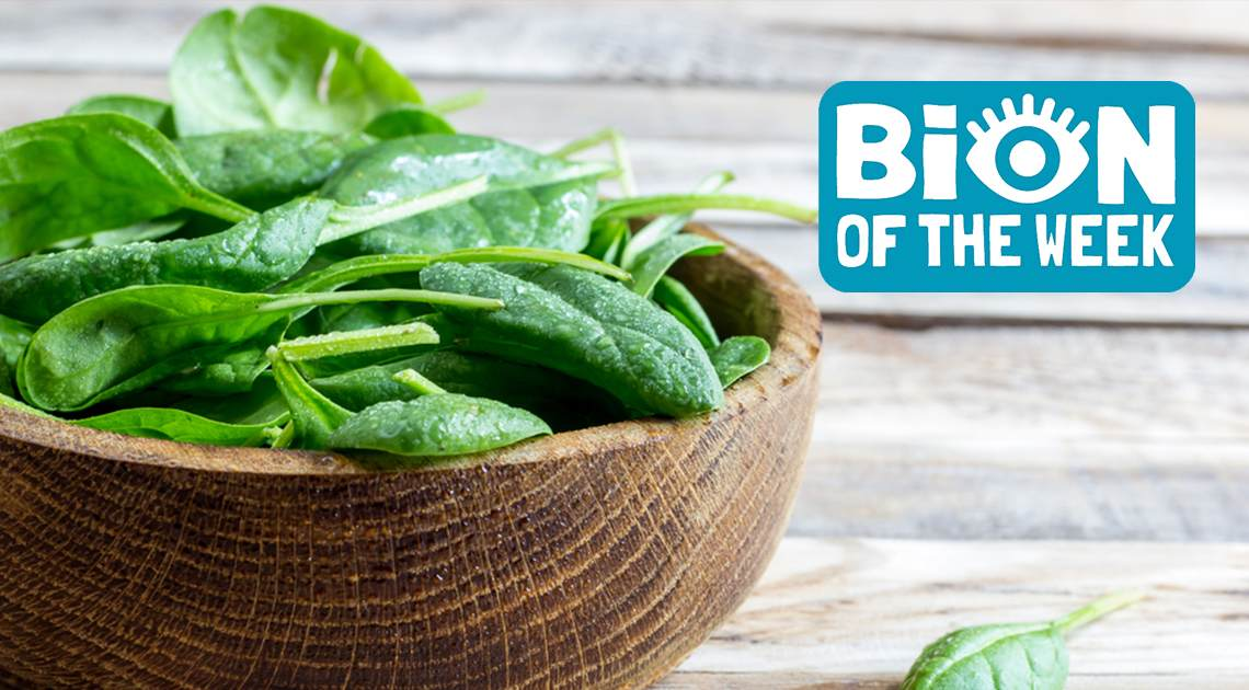 Spinach BION of the Week