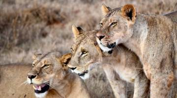 Tsavo Lions Kenya