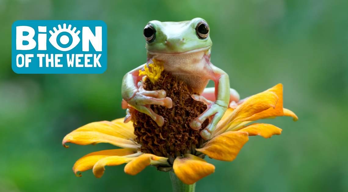 Cadbury Tree Frog