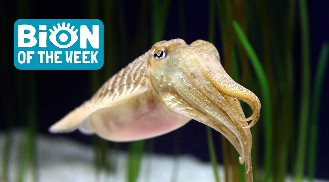 Cuttlefish BION of the Week