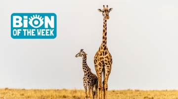 Giraffes BION of the Week