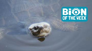Turtle BION of the Week