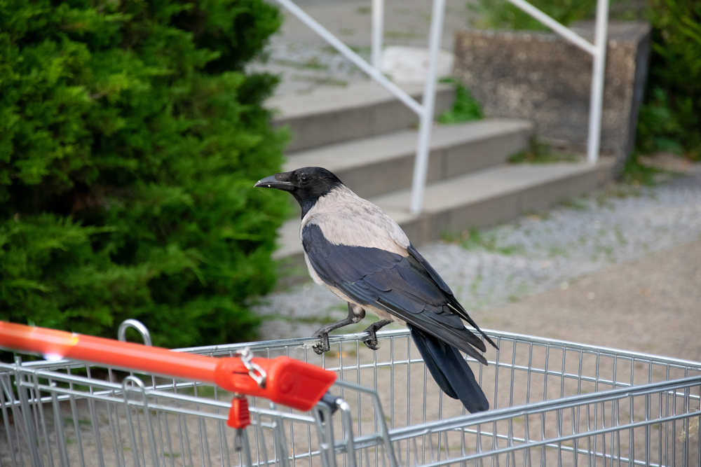 Raven Shopping Cart