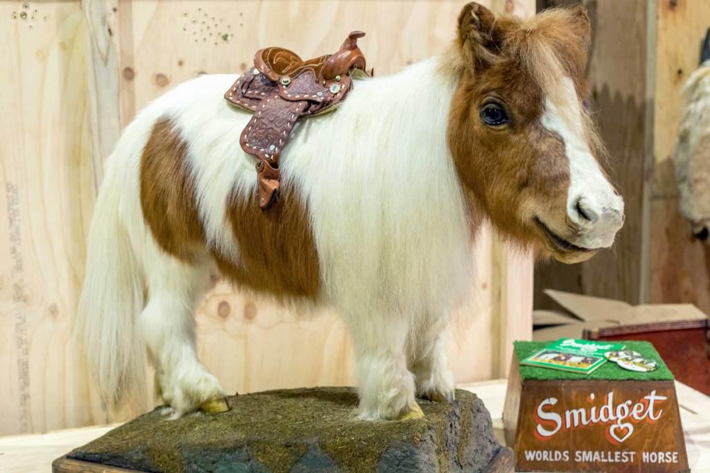 Smidget World's Tiniest Horse