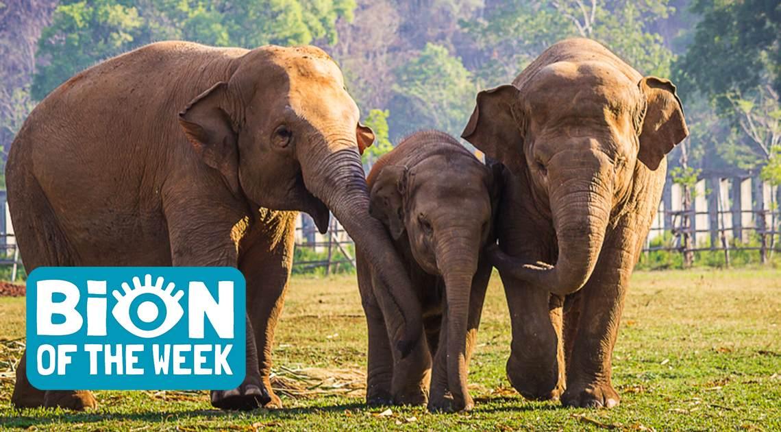 BION of the Week Elephants
