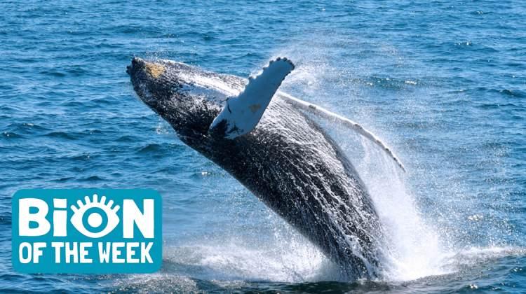 Humpback Whale BION of the Week