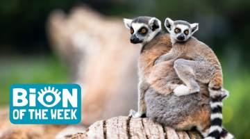 Lemur BION of the Week
