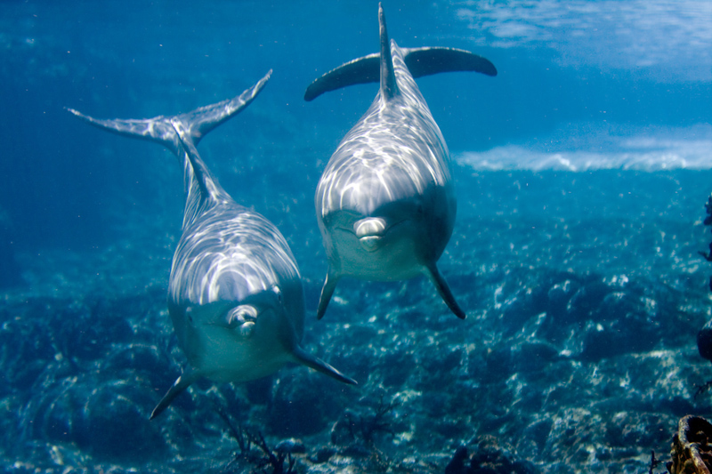 Two dolphins looking at camera