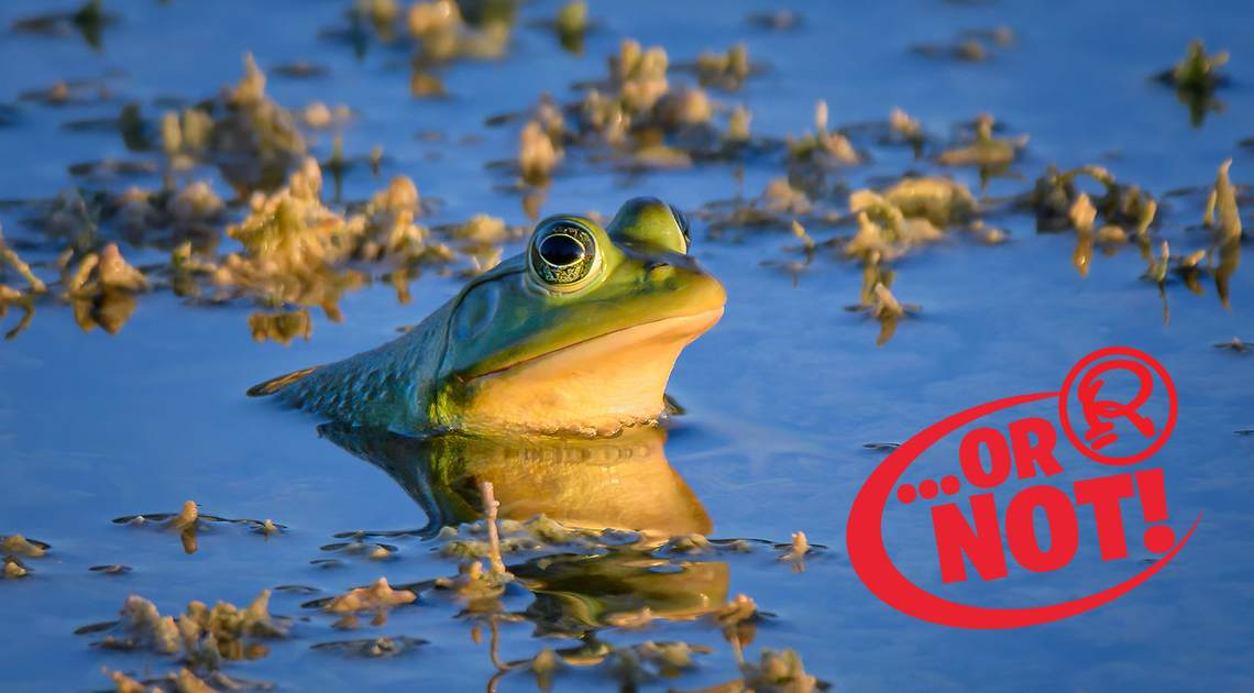 Bullfrog OR NOT