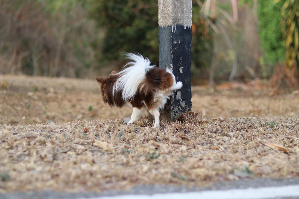Dog Peeing on Pole