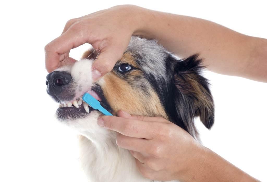 Brushing a dog's teeth