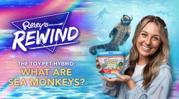 What are Sea Monkeys?