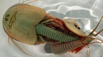 Triops Dinosaur Shrimp